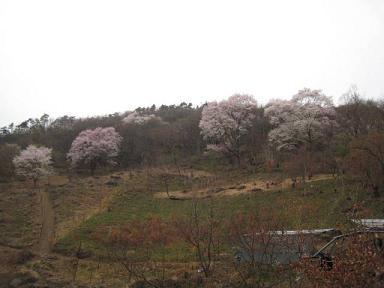 うまい!を明日へ 黒川桜4.JPG